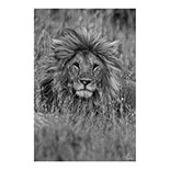 Handsome Lion 40 x 60 cm - FP04413